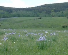 Meadow adjacent to our property with spring wild iris.