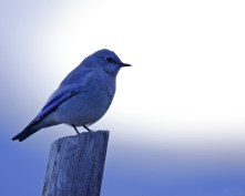 blue bird in the morning.