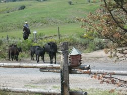 Rancher moving the cattle from the meadow across from our cabins.