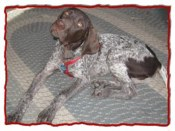 Guss, our German Shorthair Pointer.
