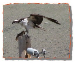 Osprey enjoys his fish meal on top of our electrical pole.