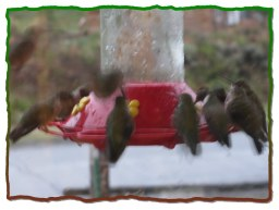 Some days we have so many hummingbirds they will empty all the feeders in a day.