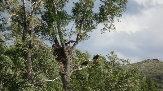 Our resident nesting Eagles - mom and dad with baby in nest.