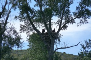 Two baby eagles in their nest as seen from Heeney Rd by the lake