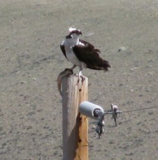 Osprey with fish on top of electric pole in our back yard.