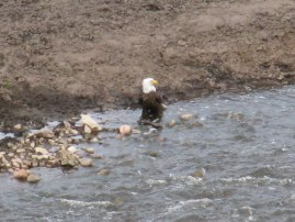 Parent eagle fishing in early spring.