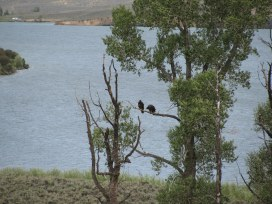 Two baby eagles - out of the nest but can't fly yet.