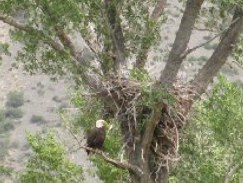 Eagle at the nest